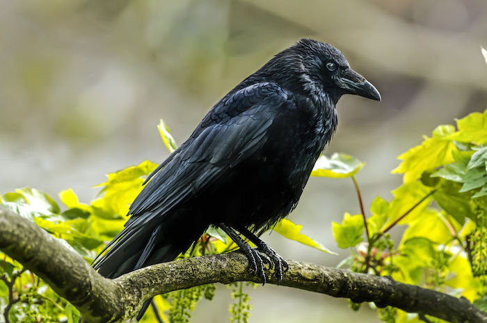 43994452 - crow, corvus corone, perched on a branch, close up