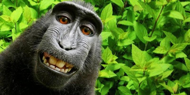 Selfie-de-singe-les-droits-du-celebre-cliche-reviennent-a-l-humain