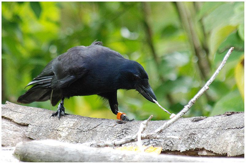 Corbeau calédonien Corvus moneduloides New Caledonian Crow