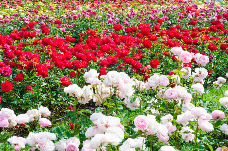 garden-roses-rose-woody-perennial-genus-rosa-family-rosaceae-there-over-species-form-group-41106591