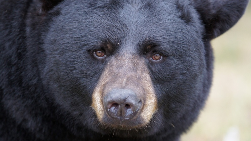 ours-noir-banniere-ete