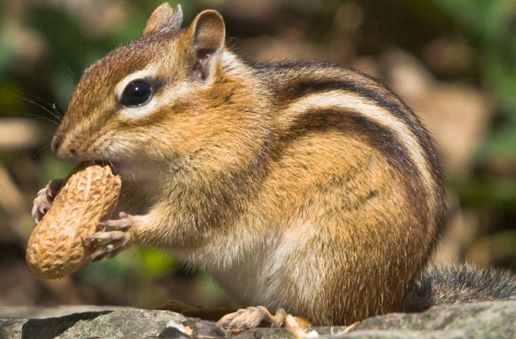 wildlife_chipmunks.jpg