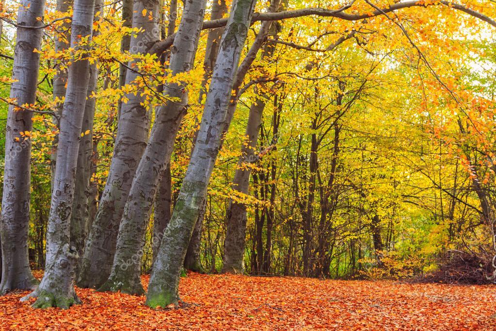 depositphotos_85911446-stock-photo-autumn-beech-fall-forest