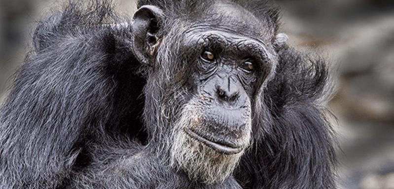 cover-r4x3w1000-57e17b24c60fa-un-chimpanze-dans-un-zoo-au-mexique.png