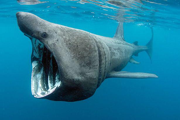 Requin-Pelerin-Copyright-Charles-Hood-2