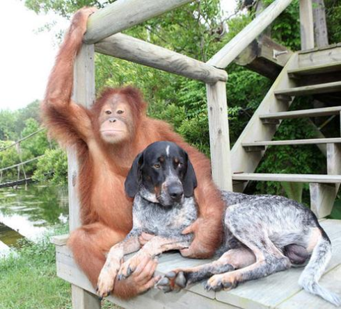 amitie-animaux-entre-chien-orang-outan2.jpg.png